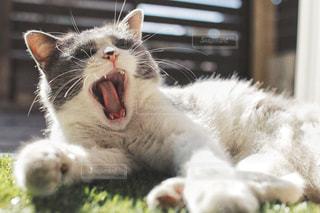 猫のあくびの写真・画像素材[1624937]