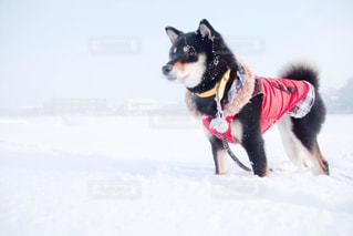 犬,風景,雪,赤,白,黒,服,ホワイト,黒柴,栃木県,雪化粧,大雪,小梅,柴,宇都宮市,白い世界