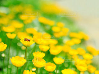花,花畑,屋外,植物,かわいい,黄色い花,小さい,ビタミンカラー,幸せ,flower,イエロー,ミツバチ,ハチ,あしかがフラワーパーク,黄色い,カワイイ,みつばち,花粉