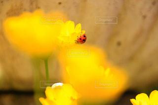 自然,花,屋外,植物,かわいい,フラワー,黄色,鮮やか,草花,小さい,虫,ビタミンカラー,テントウムシ,イエロー,てんとう虫,カラー,黄,草木,あしかがフラワーパーク,yellow,カワイイ,ナナホシテントウ,黄色い世界