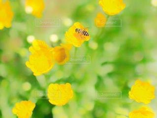 自然,花,お花畑,植物,かわいい,フラワー,黄色,鮮やか,草花,小さい,蜂,ビタミンカラー,flower,色,黄,ミツバチ,ハチ,あしかがフラワーパーク,カワイイ,みつばち,花粉,黄色い世界