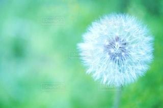 たんぽぽの綿毛の写真・画像素材[3343302]