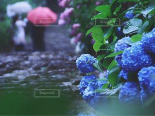 紫陽花の写真・画像素材[3375143]
