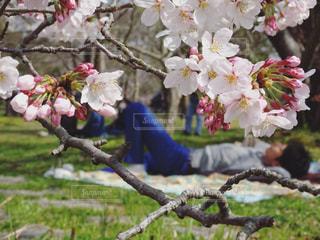 桜,芝生,お花見,お昼寝,さくら
