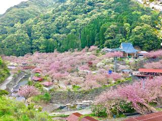自然,風景,花,春,桜,花畑,屋外,山,樹木,八重桜,草木,さくら,牡丹桜,一心寺