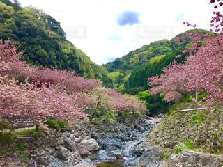 自然,風景,花,春,桜,花畑,屋外,川,山,樹木,八重桜,草木,さくら,牡丹桜,一心寺