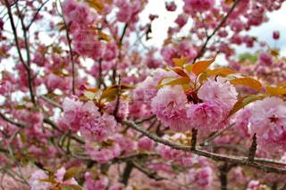 植物にピンクの花の写真・画像素材[1125335]