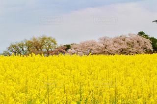 フィールド内の黄色の花の写真・画像素材[1126145]
