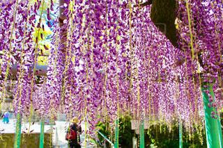 西寒田神社のふじ祭りの写真・画像素材[1145015]