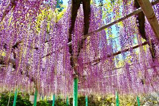 西寒田神社のふじ祭りの写真・画像素材[1145016]