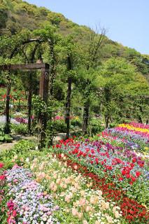 花,庭,青空,チューリップ,色とりどり,伊豆,熱海,色,アカオハーブ&ローズガーデン