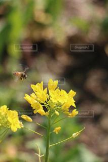 風景,花,春,黄色,菜の花,草,野原,虫,ミツバチ