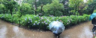 雨,紫陽花,梅雨,松戸,本土寺