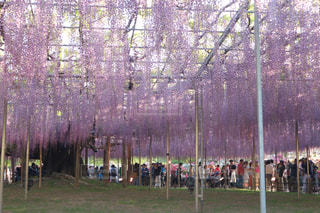 花,藤,藤の花,栃木県,足利フラワーパーク,足利市