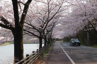 自然,風景,春,桜,道路,道,埼玉県,三ヶ山,寄居
