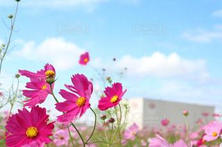ピンク,コスモス,青,秋桜,コスモス畑,埼玉県,吉見町