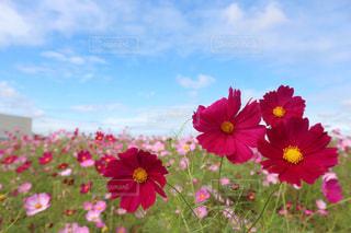 花,ピンク,コスモス,青,秋桜,コスモス畑,埼玉県,吉見町