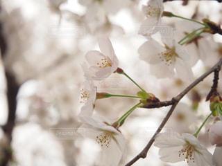 花,春,桜,東京,緑,目黒川