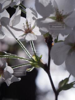 花,春,桜,東京,目黒川