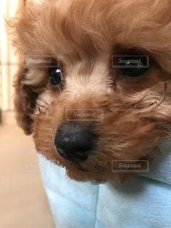 カメラを見て茶色と白犬の写真・画像素材[1200022]