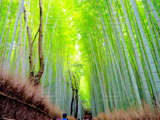 竹林の道の写真・画像素材[1038524]