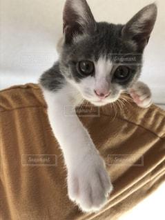 子猫のハナちゃんの写真・画像素材[1255248]