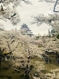 福島 会津若松 鶴ヶ城 桜