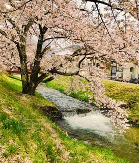 福島 川桁の観音寺川の桜の写真・画像素材[1145576]