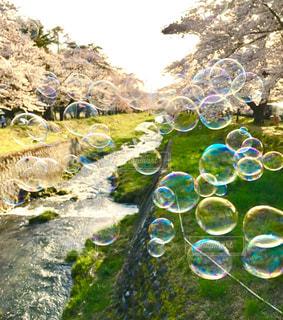 福島 猪苗代 川桁の観音寺川の桜とシャボン玉。の写真・画像素材[1158468]