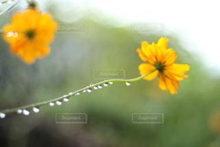 花,コスモス,写真,ボケ,草木,庭の畑