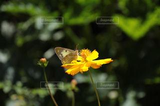 花,コスモス,蝶