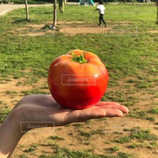 手の上のトマトの写真・画像素材[1199470]