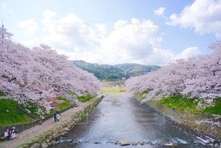 空,公園,桜,川,花吹雪,鯉