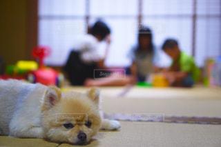 茶色と白の小型犬の写真・画像素材[1225250]