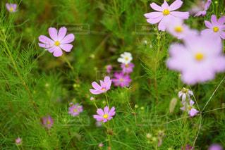 ピンクの花は草の中に立っています。の写真・画像素材[1503439]