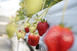 花,冬,屋外,緑,赤,女の子,いちご,苺,フルーツ,いちご狩り,練乳,白苺,フレッシュいちご