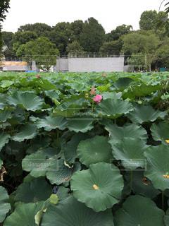 睡蓮の咲き始めの不忍池の写真・画像素材[1039052]