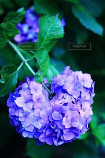 自然,雨,景色,ハート,紫陽花,梅雨,アジサイ
