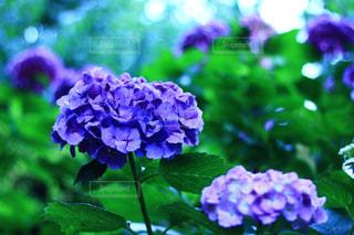 自然,雨,景色,紫陽花,梅雨,玉ボケ,アジサイ