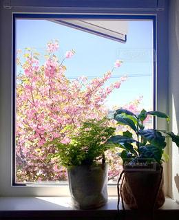 窓から桜を覗く植物の写真・画像素材[3302628]