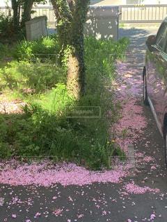 桜のじゅうたん♪の写真・画像素材[3302629]