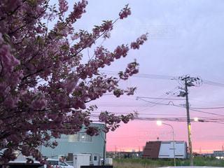 夜桜とピンクの夕陽*の写真・画像素材[3302626]
