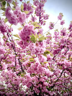 満開の桜の写真・画像素材[3302625]
