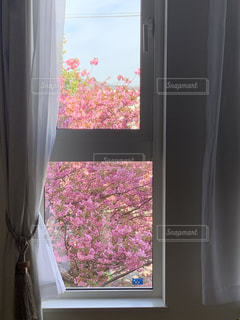 窓からのぞく桜のカーテンの写真・画像素材[3302631]