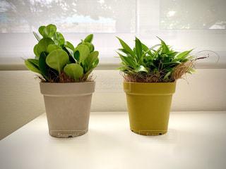 かわいい観葉植物♡の写真・画像素材[3309236]