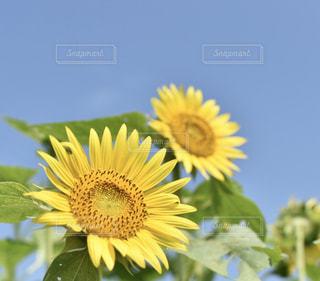 屋外,南国,黄色,景色,向日葵,幸せ,草木,鹿児島県,yellow,ばら園,鹿屋市,霧島ヶ丘公園