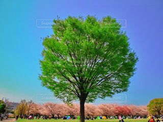 大きな木の写真・画像素材[1097297]