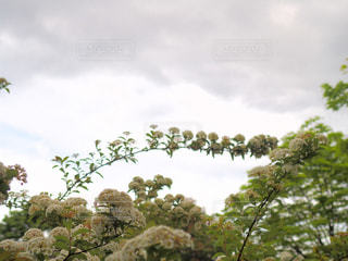 雨上がりに小手鞠の虹をの写真・画像素材[1130677]