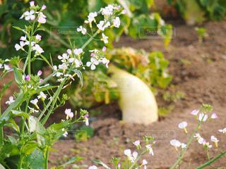 大根の花の写真・画像素材[1197657]
