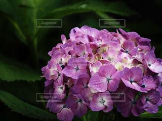紫陽花の写真・画像素材[1217928]